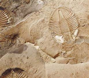 Trilobite Fossil from the Burgess Shale. Photo from www.msnbc.msn.com