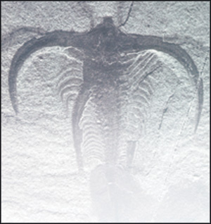 "Fossil - Marrella splendens, the ""lace crab"" from Walcott's quarry, is the most abundant fossil in the Burgess Shale. Photo from Parks Canada."
